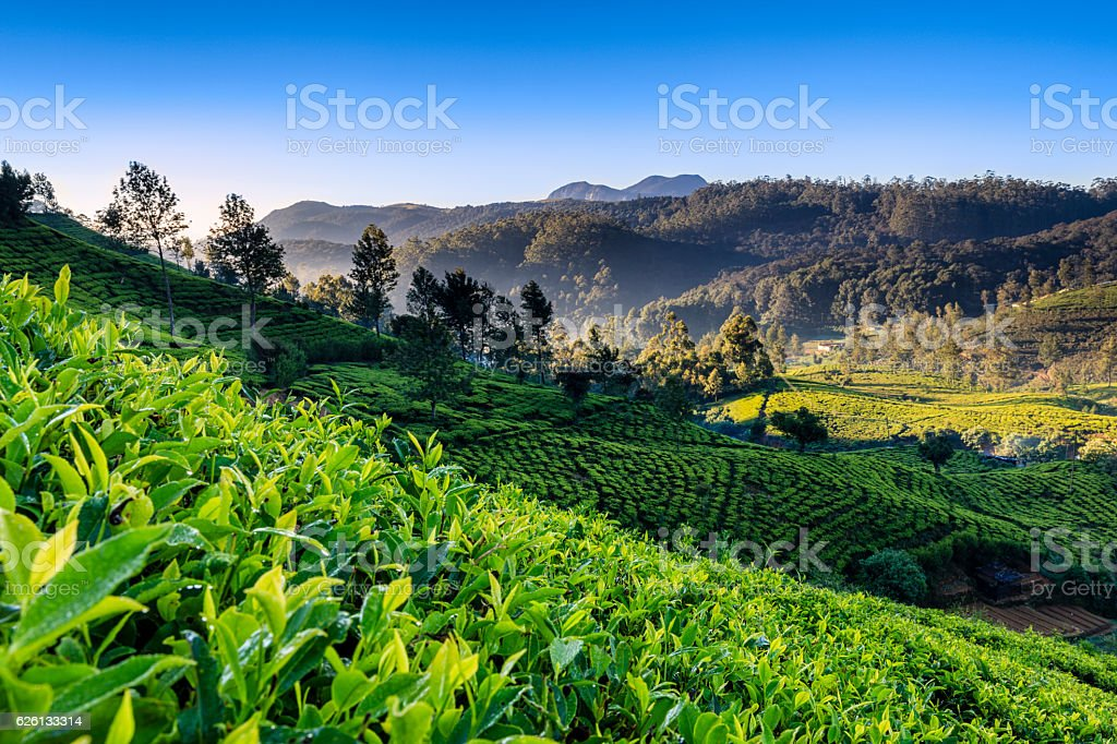 Early morning on tea plantation, Nuwara Eliya, Ceylon royalty-free stock photo