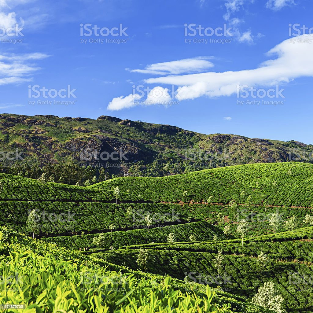 Early morning on the tea plantation in India, Asia stock photo
