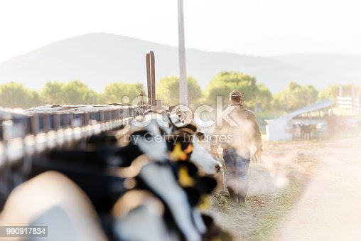 Early morning portrait of a dairy farmer walking away from camera. Steaming breath of cows hazes the early morning sunshine.
