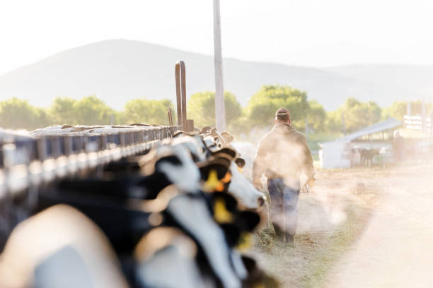 Early morning portrait of a dairy farmer walking away from camera Early morning portrait of a dairy farmer walking away from camera. Steaming breath of cows hazes the early morning sunshine. dairy farm stock pictures, royalty-free photos & images