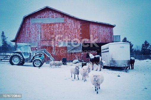 Wild Mountain Farm , Canning , Nova Scotia / Canada - DEC 31 2017 : early morning scene with farm animals sheep and horses coming out of the barn during the winter snow