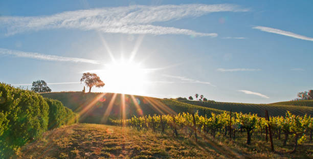 Early morning sun shining next to Valley Oak tree on hill in Paso Robles wine country in the Central Valley of California United States stock photo
