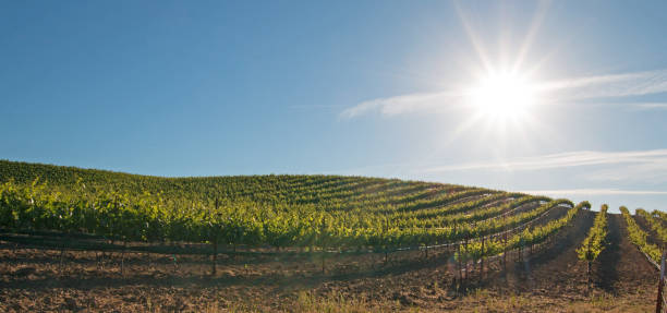Early morning sun shining on Paso Robles vineyards in the Central Valley of California United States stock photo