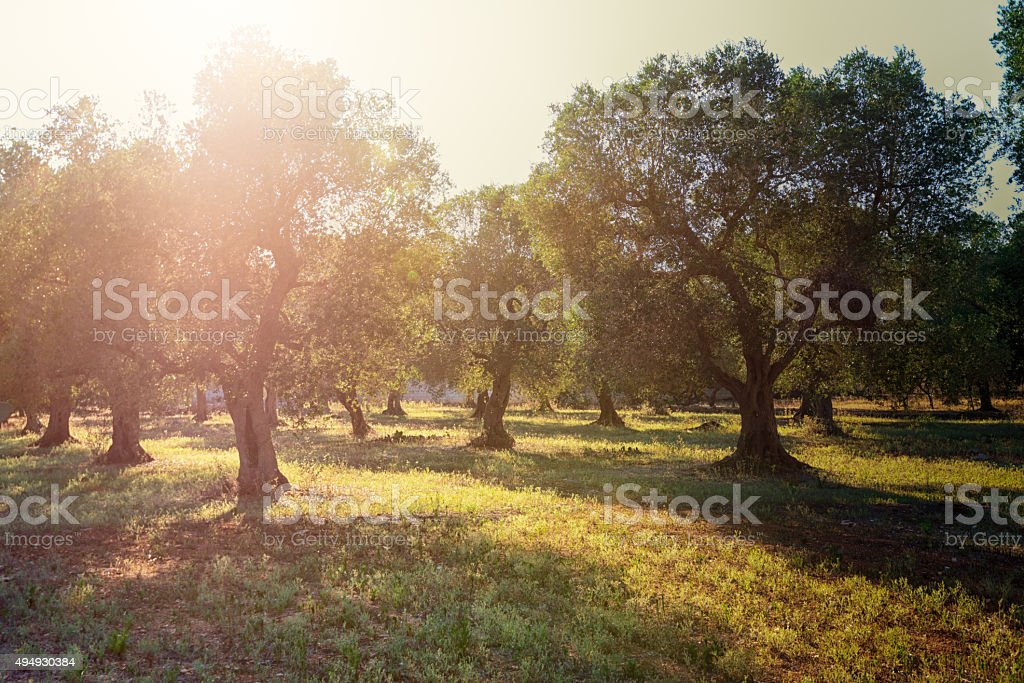 Early morning sunbeams in olive plantation in South Italy, Puglia. stock photo