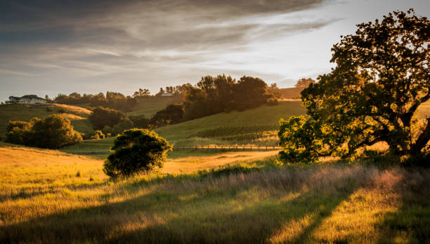 Early morning sunlight is filtered through the grass and a large oak tree stock photo