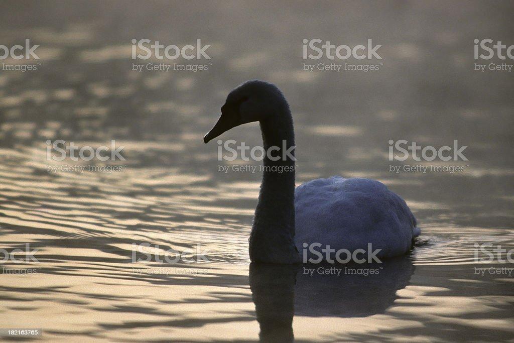 Early Morning Swan stock photo