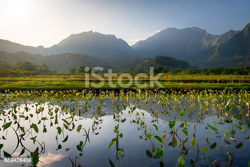 Early morning view of Taro fields in Hanalei, island of Kauai, Hawaii