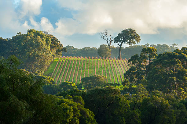 early morning vineyard - western australia stock pictures, royalty-free photos & images