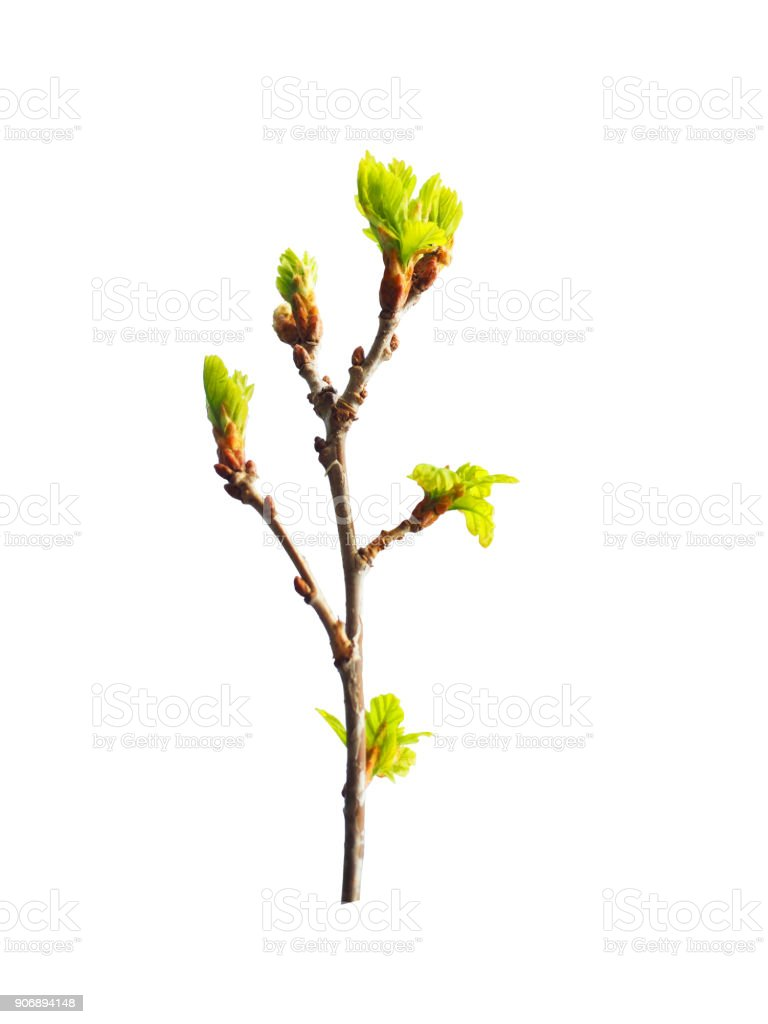 Early spring. Awakening of a new life. Branch of small young oak isolated on the white background. Oak is a tree of the beech family, Fagaceae. Buds. Budding leaves stock photo