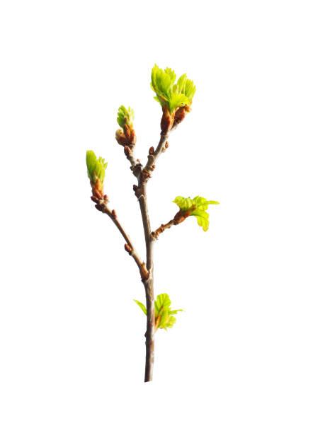 early spring. awakening of a new life. branch of small young oak isolated on the white background. oak is a tree of the beech family, fagaceae. buds. budding leaves - pączek etap rozwoju rośliny zdjęcia i obrazy z banku zdjęć