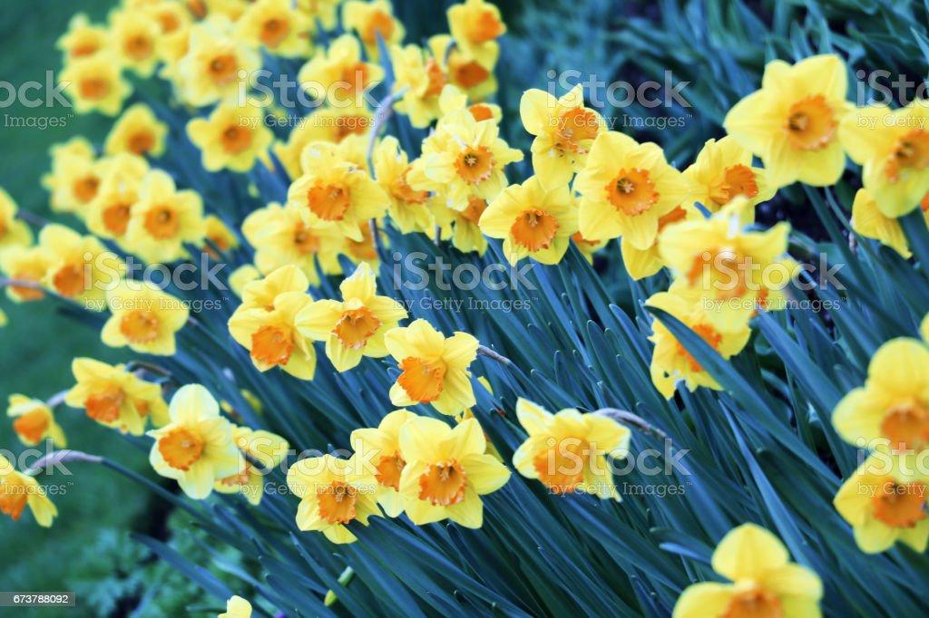 Erken Bahar çiçek sarı nergis çiçekleri royalty-free stock photo