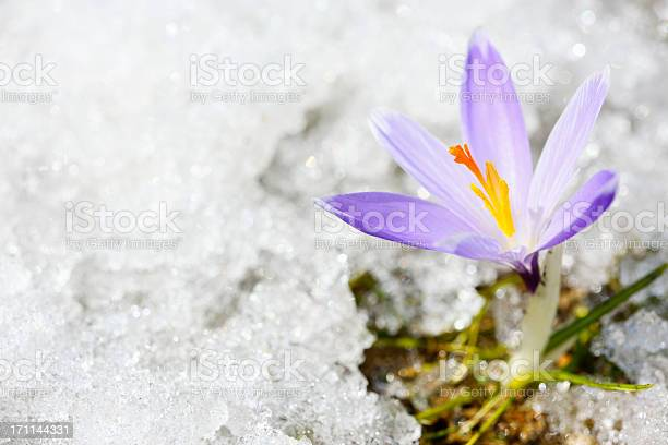 Early spring crocus in snow series picture id171144331?b=1&k=6&m=171144331&s=612x612&h=oqpkwvzonhokjvl4s9fmsj8gr5e3i9a3nrrfnqj9tx0=
