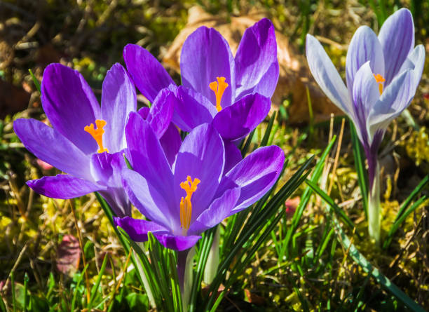 early spring crocus - stamen stock photos and pictures