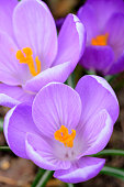 istock Early spring Crocus (Crocus Remembrance) 908647156