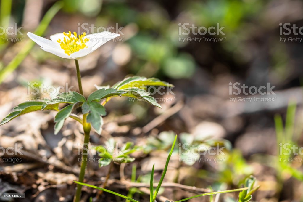 Early spring flower wood anemone in the spring forest, macro bokeh background stock photo