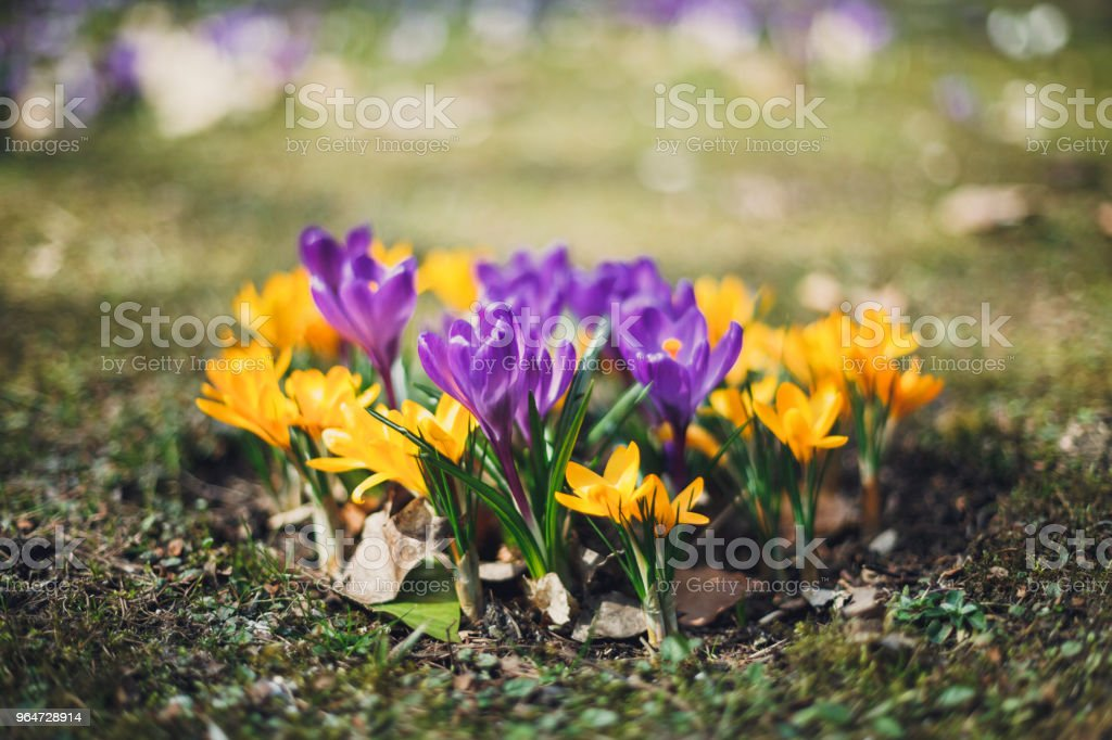 Early spring flowers photography royalty-free stock photo