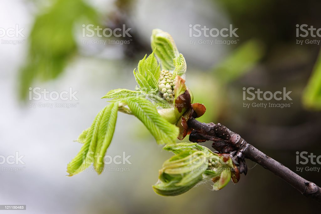 Early spring, fresh green tree leaf and blossom (XXL) stock photo
