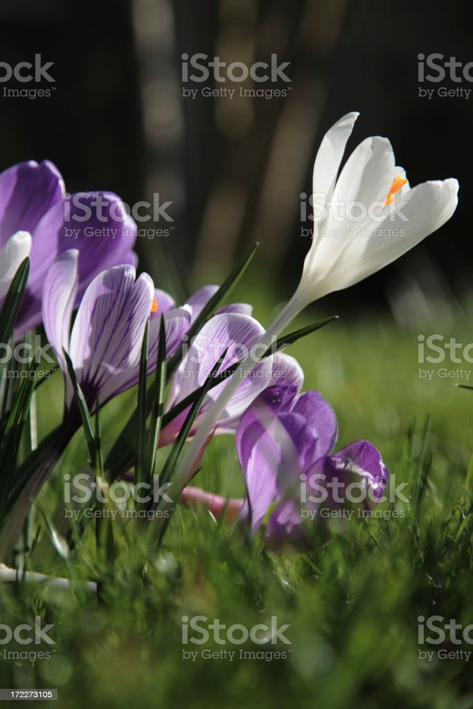 early spring royalty-free stock photo