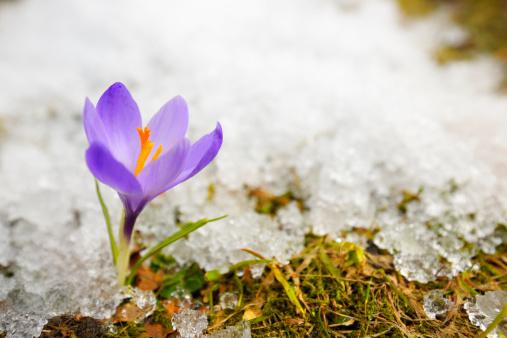 Early Spring Purple Crocus Flower in Melting Snow