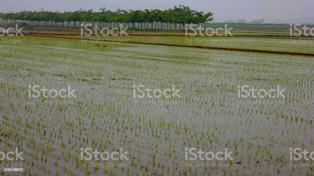 Early spring rice farming started stock photo