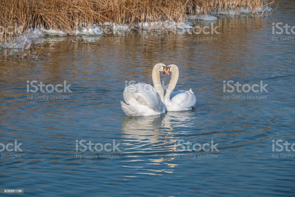 Early spring ritual, a swan couple perform their pairing dance, view from the Holzsteg, a wooden footbridge crossing the Upper Zurich Lake between Rapperswil and Hurden, Sankt Gallen, Schwyz, Switzerland stock photo