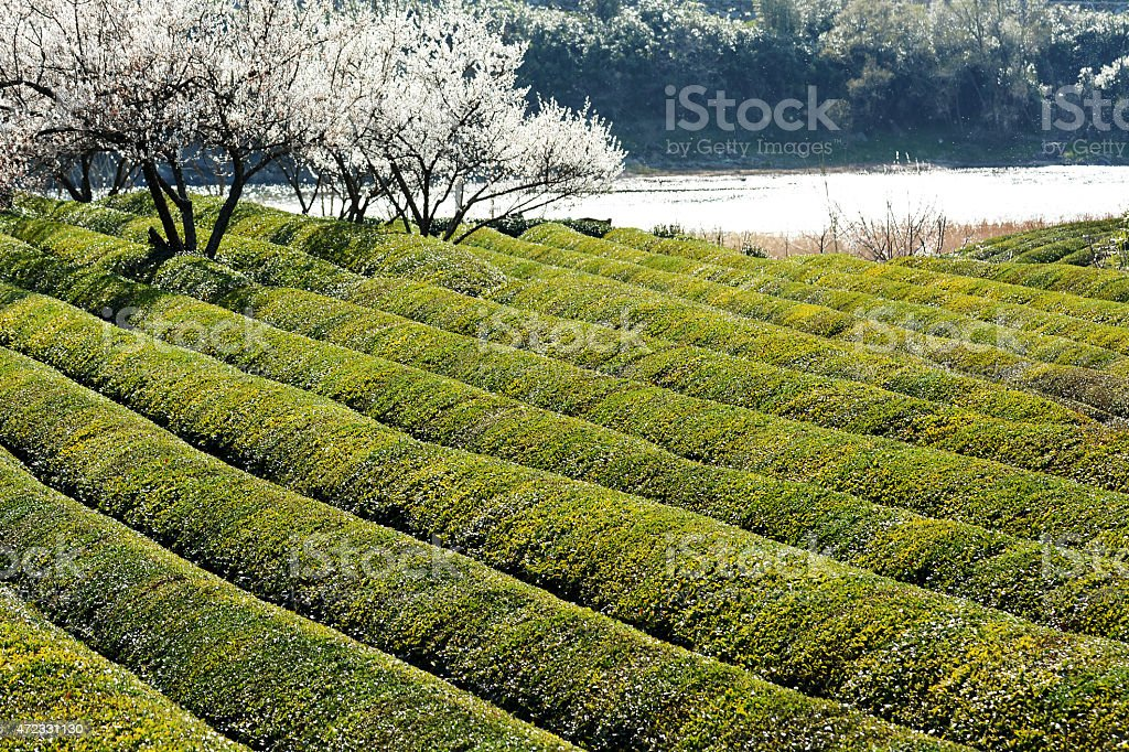 Early Spring Season Green Tea Field In Korea Stock Photo & More ...