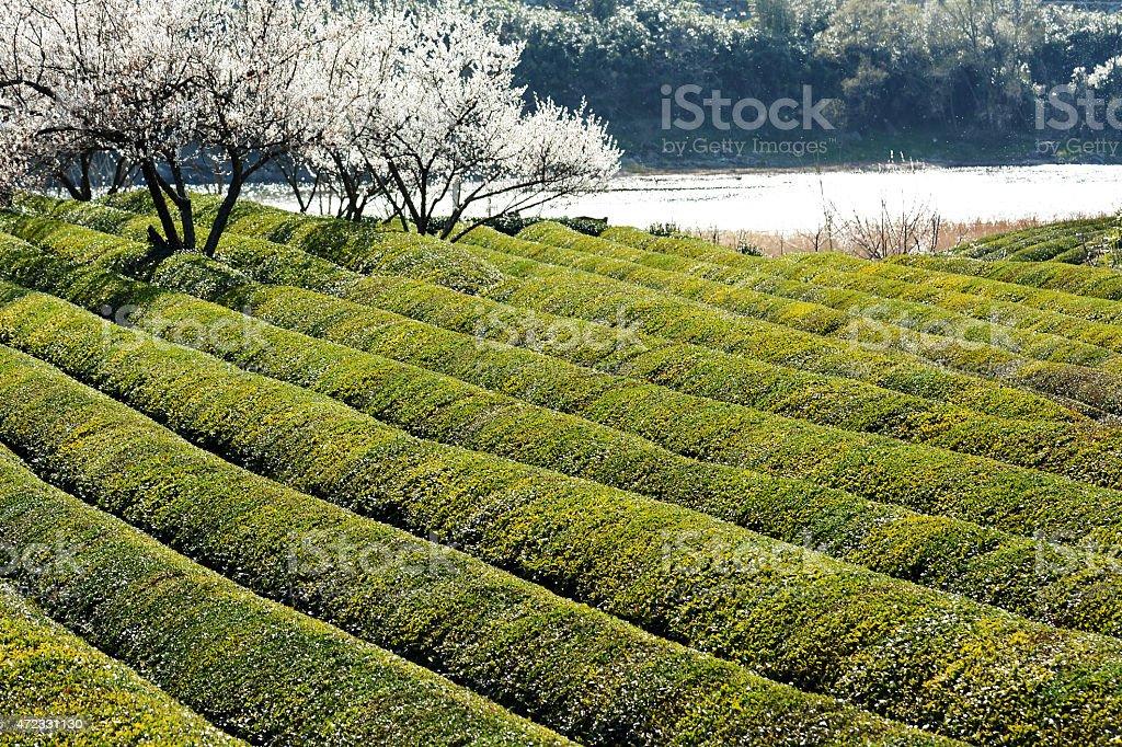 Early spring season green tea field in Korea stock photo