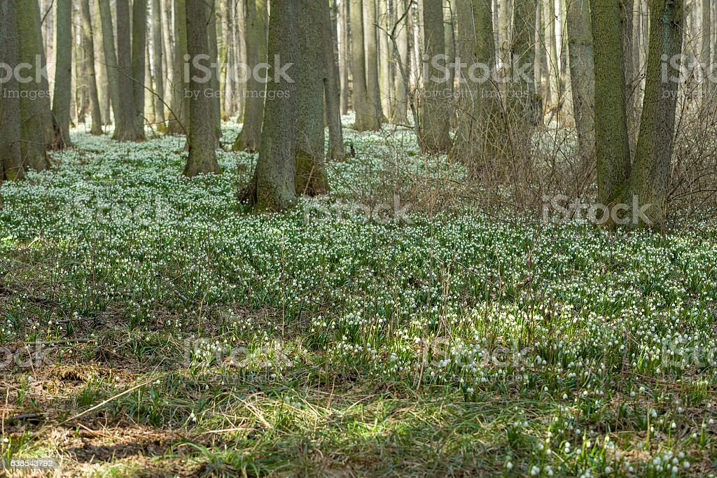 early spring snowflake flowers in forest stock photo