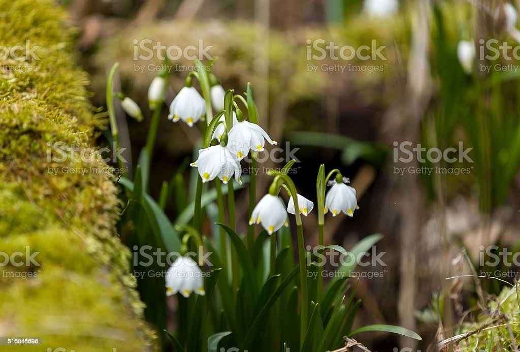 early spring snowflake flowers stock photo
