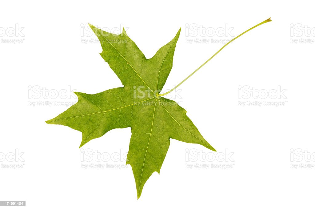 Early spring Sweet Gum tree leaf stock photo