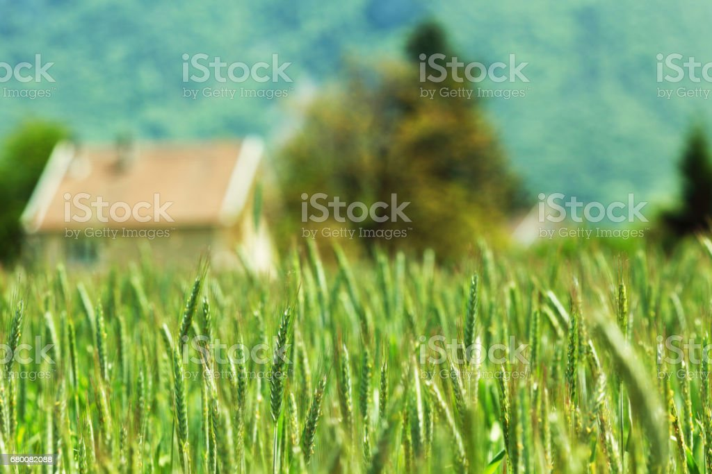 Early spring wheat field stock photo