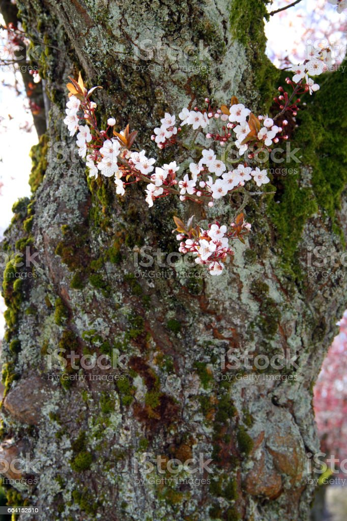 Early Spring White foto stock royalty-free