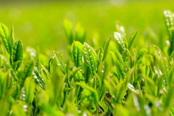 Frühsommer-Teeplantage - Japanischer Tee – Foto