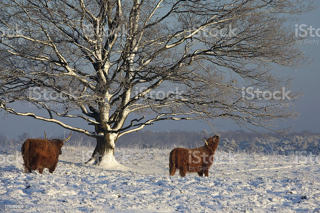 Early sunbeams on snowy tree with Highland cattle royalty-free stock photo