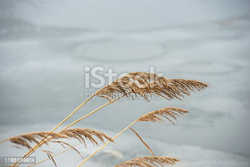 ears and stalks of bulrush reeds against a light background of ice in cloudy weather. In the countryside. Early spring, March. Web banner.
