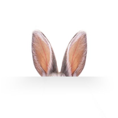 Ears of a hare on a white background.