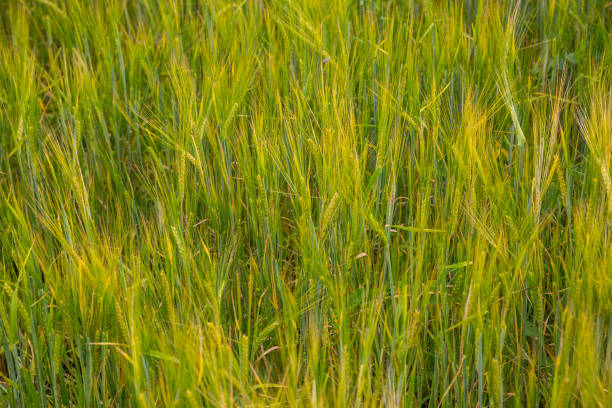 Ears of barley in the field background stock photo