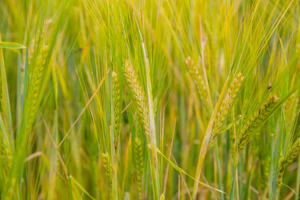 Ears of barley in the field closeup stock photo
