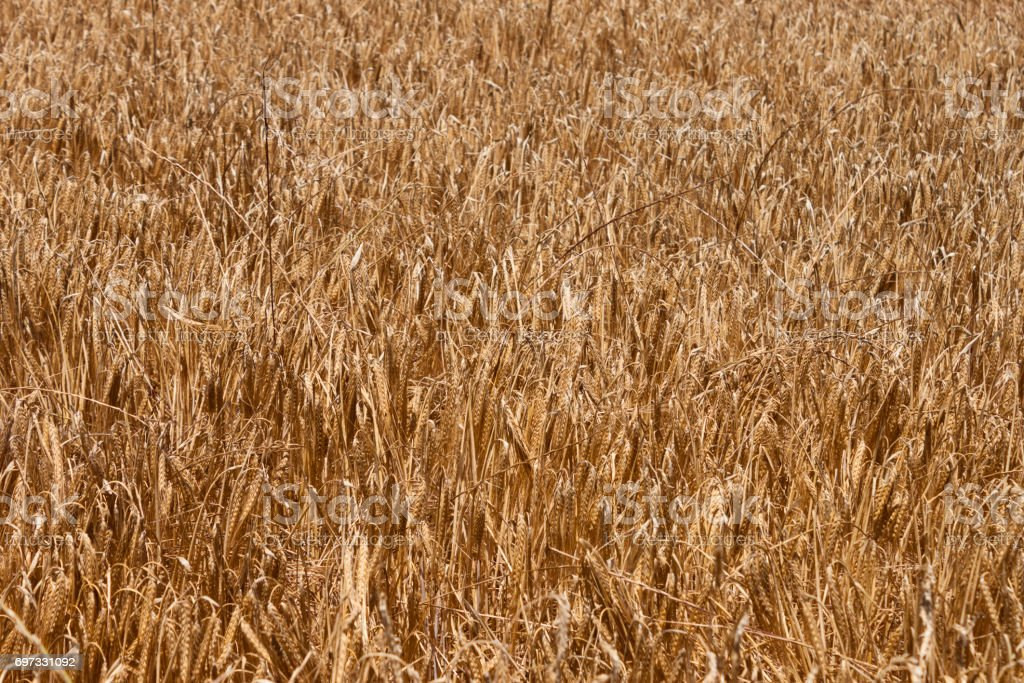 Ears of barley on the field in summer stock photo