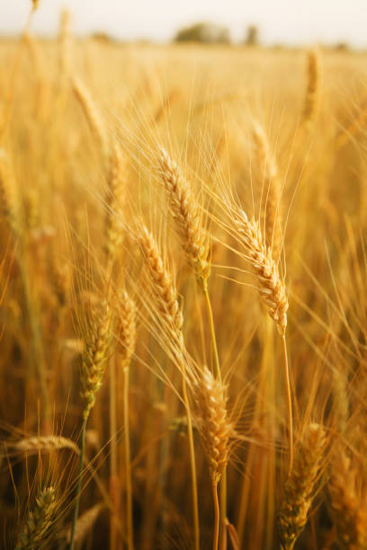 Ears of golden wheat close-up. Nature stock photo