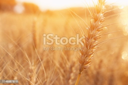 ears of golden wheat in the field at sunset light