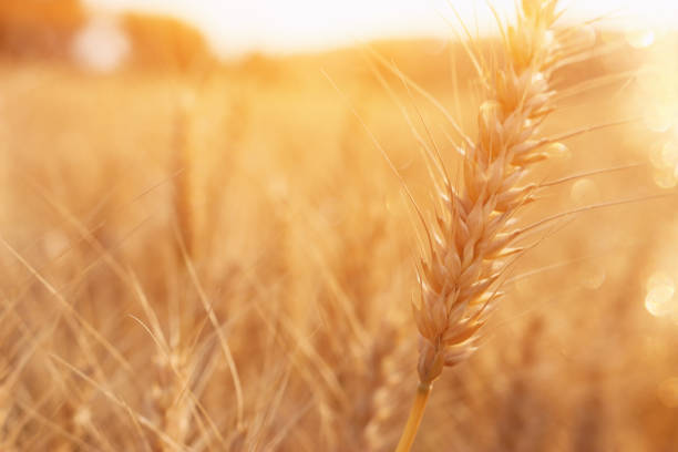 ears of golden wheat in the field at sunset light – zdjęcie