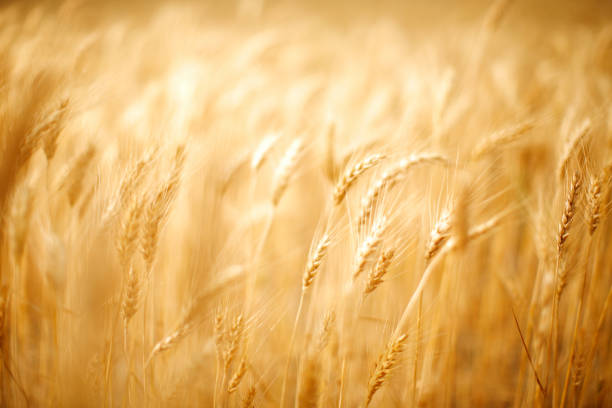 Ears of golden wheat stock photo