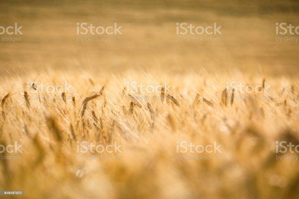 ears of grain at sunset zbiór zdjęć royalty-free