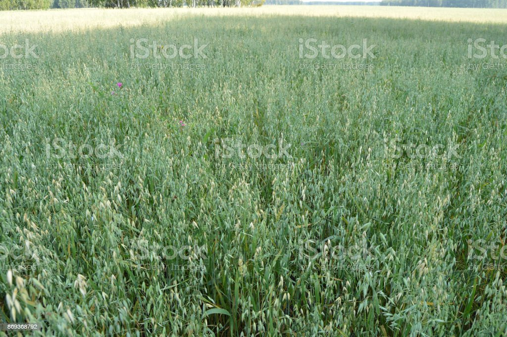 Ears of oats are growing on the green field on background blue sky stock photo