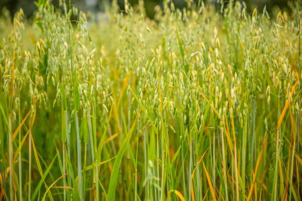 Ears of oats in the field stock photo