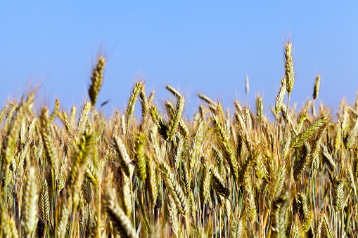 ears of rye in the Agricultural field