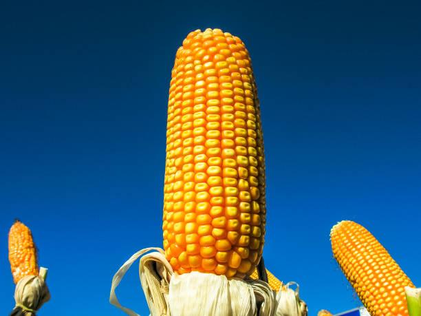 Ears of Sweet Corn on field in Brazil stock photo