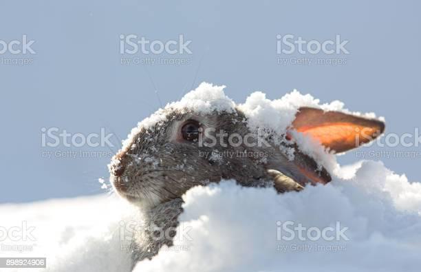 Ears of the hare snow winter picture id898924906?b=1&k=6&m=898924906&s=612x612&h=qwjsdj3 7v38snvzc83s7tqhfxtvgclihh3onnnlxrg=