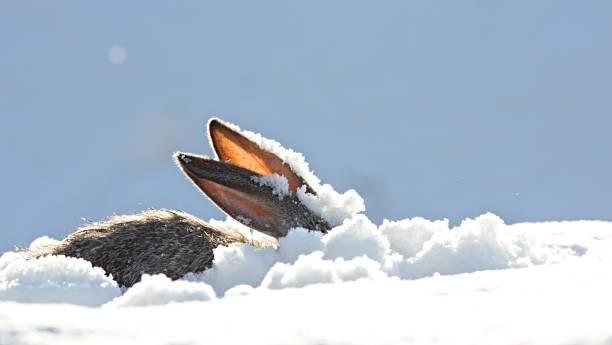 Ears of the hare snow winter picture id898925054?b=1&k=6&m=898925054&s=612x612&w=0&h=vm6j9gctro8roxcsml24kc54xcyhtieoyrugyurp4ig=